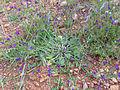 Echium creticum Habitus 2010-5-08 CampodeCalatrava.jpg