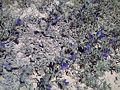 Echium sabulicola 2LaMata.jpg