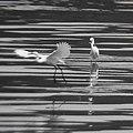 Egrets 白鷺 - panoramio.jpg