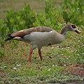 Egyptian Goose (9038042840).jpg