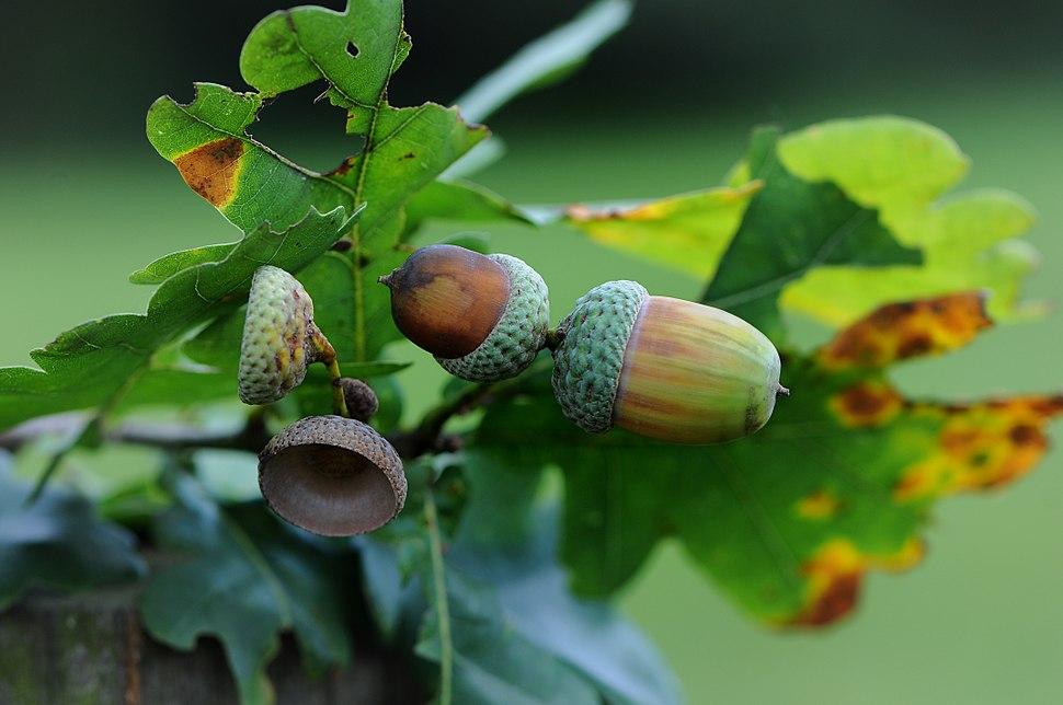 Eichel der Stieleiche, Acorns of Quercus robur 1