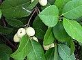 Elaeodendron croceum.jpg