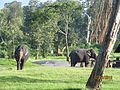 Elephants in mudumalai national park and wild life sanctuary.jpg