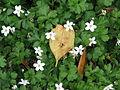 Ellisiophyllum pinnatum (9180938607).jpg