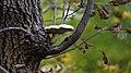 Elm Mushroom (Hypsizygus ulmarius) - Guelph, Ontario 2015-10-11.jpg