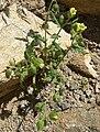 Emmenanthe penduliflora 1.jpg