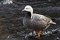 Emperor goose by Lisa Hupp USFWS.jpg