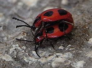 Scharlachroter Stäublingskäfer