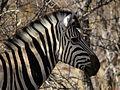 Equus burchelli 2.jpg