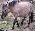 Equus ferus caballus (conic) pony.jpg