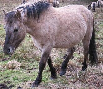 Konik - Image: Equus ferus caballus (conic) pony