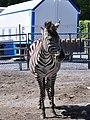 Equus quagga – Circus Knie – Zürich Landiwiese-Mythenquai 2011-05-06 14-41-08.jpg