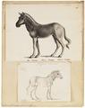 Equus quagga - 1700-1880 - Print - Iconographia Zoologica - Special Collections University of Amsterdam - UBA01 IZ21700011.tif