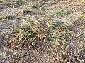 Eragrostis virescens sl1.jpg