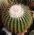 Eriocactus claviceps.jpg
