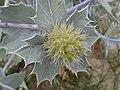 Eryngium maritimum kz11.jpg