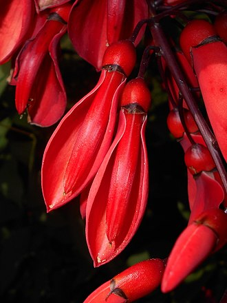 Erythrina crista-galli - Flowers of the cockspur coral tree