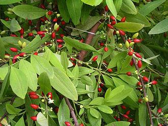 Coca - Erythroxylum novogranatense var. novogranatense leaves and berries