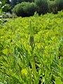 Eschscholzia californica 2017-05-23 1289.jpg