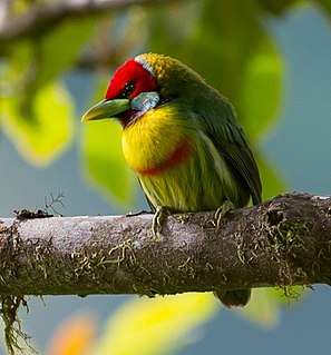 Versicolored barbet species of bird