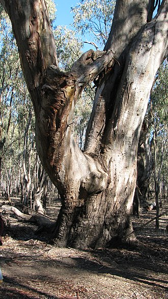 Tree hollow - Image: Eucalyptus camaldulensis 01 Pengo