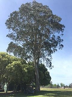 <i>Eucalyptus bicostata</i> species of plant