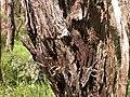 Eucalyptus macrorhyncha (5085624672).jpg