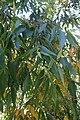 Eucalyptus microcorys kz02.jpg