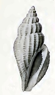 <i>Eucithara guentheri</i> Species of gastropod