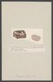 Eucoelium roseum - - Print - Iconographia Zoologica - Special Collections University of Amsterdam - UBAINV0274 005 12 0016.tif