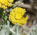 Eumerus sp. (macho) - Flickr - S. Rae.jpg