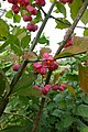 Euonymus europaeus, Früchte und Zweige.jpg
