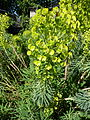 Euphorbia characias 01.JPG