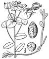 Euphorbia commutata illustration.tif
