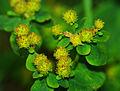 Euphorbia epithymoides - fruits 01.jpg