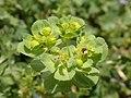 Euphorbia helioscopia 121392461.jpg