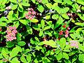 Euphorbia milii Prague 2011 2.jpg