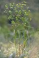 Euphorbia zhiguliensis.jpg