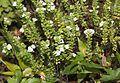 Euphrasia insignis subsp. iinumae s3.JPG