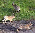 European hare running.jpg