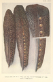 Evolution of eyes on Argus Pheasant feathers by Henrik Grönvold.png