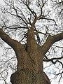 Fagales - Quercus robur - 53.jpg