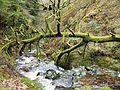 Fallen Tree Hafod.JPG