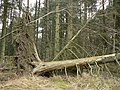 Fallen tree, Pitmedden Forest - geograph.org.uk - 120427.jpg