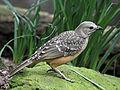 Fawn-breasted Bowerbird RWD3.jpg