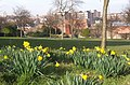 February daffodils, Gildredge Park, Eastbourne - geograph.org.uk - 698164.jpg