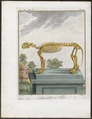 Felis tigris - skelet - 1700-1880 - Print - Iconographia Zoologica - Special Collections University of Amsterdam - UBA01 IZ22100107.tif