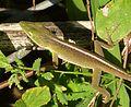 Female. Cuban Green Anole. Anolis porcatus - Flickr - gailhampshire.jpg