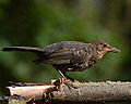 Female Blackbird (9629110219).jpg