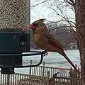 Female Cardinal- Birdcam (4284039523).jpg